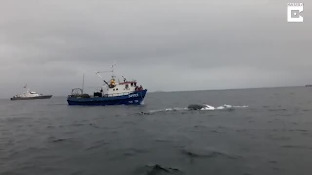 Watch Chilean Navy Rescue Whale Caught In Net GIF by bobsagetsbaguettes on Gfycat. Discover more Chile, Chilean, catersnewsagency, caterstv, clips, help, helpful, helping, navy, viral GIFs on Gfycat