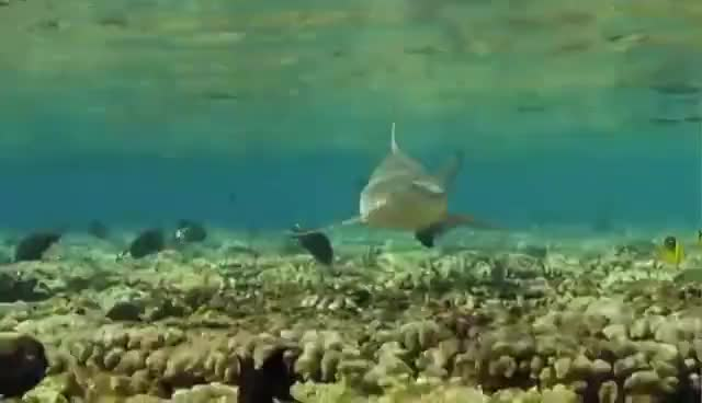 Watch and share Swimming With Shallow Reef Sharks GIFs on Gfycat