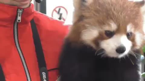 animal, animals, red panda, Red Panda gets the sneezes  GIFs