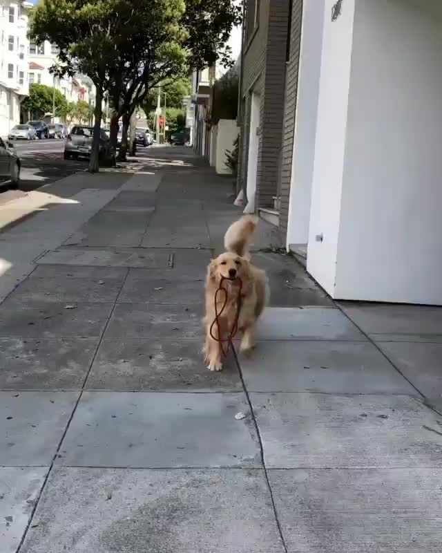 Watch and share Independent Pupper Is Ecstatic For His Walkies GIFs by mayaxs on Gfycat