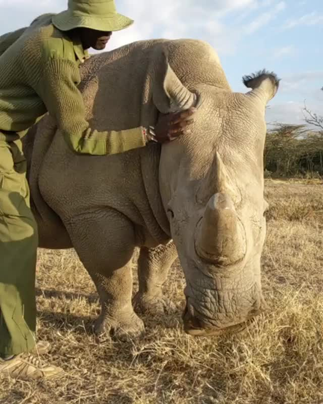 Watch One of the last two white rhinos in existence getting a rub from one of her dedicated protectors at the Ol Pejeta Conservancy GIF by tothetenthpower (@tothetenthpower) on Gfycat. Discover more nature GIFs on Gfycat