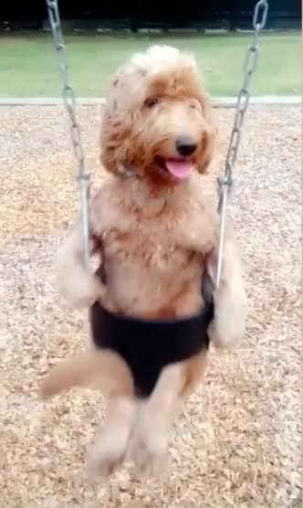 Watch this trending GIF by GIF Queen (@ioanna) on Gfycat. Discover more GIF Brewery, cute, dog, funny, love, puppy, swing GIFs on Gfycat