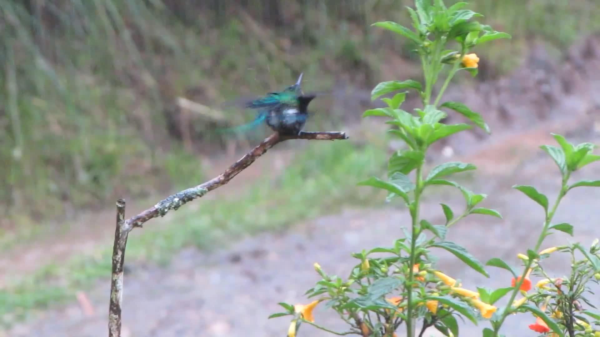 Long-Tailed Sylph Hummingbird Bathing GIFs