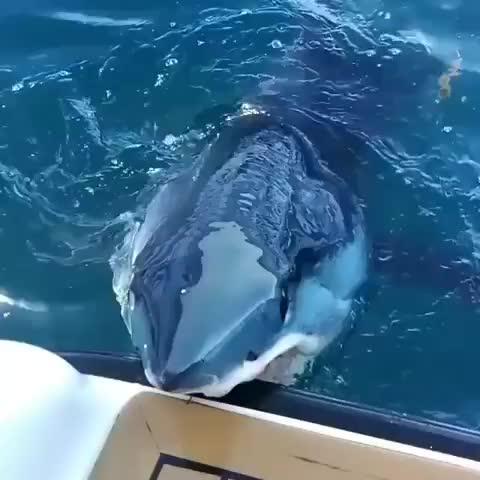 animals, scary, shark, Just a Mako shark saying hi GIFs
