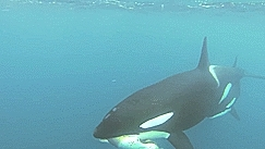 blackfish, cetacean, gif, gif set, gopro, i finally have made an attempt at gif making >:D, ingrid visser, killer whale, orca, orcinus orca, whales, Whales, Dolphins, Porpoises and Dialogue GIFs