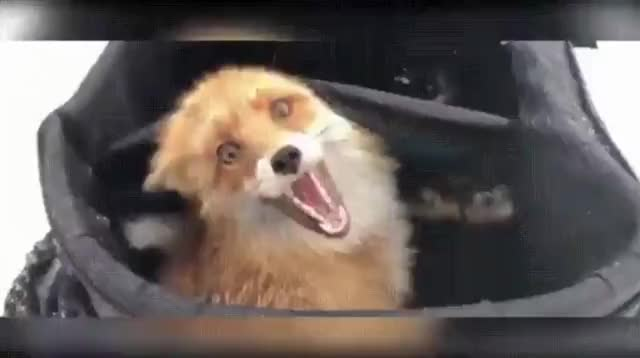 fox, funny, Fox found in fishermen's bag after eating all the fish GIFs