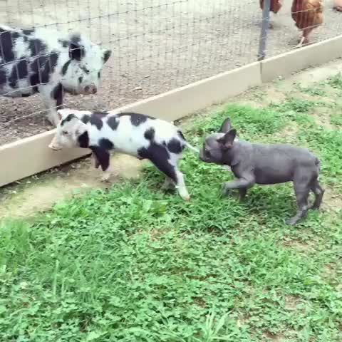 Watch 13605524_147247922345951_1373501067_s GIF by ShaneH7646 (@shaneh7646) on Gfycat. Discover more AnimalsBeingJerks, aww GIFs on Gfycat
