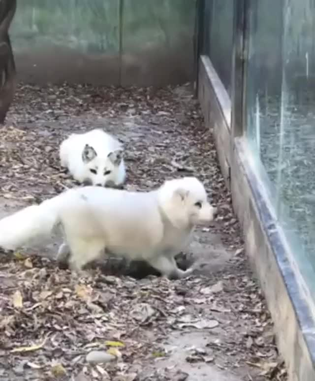 Watch and share Lil Fox Loses His Fren And Is Completely Bamboozled. GIFs on Gfycat