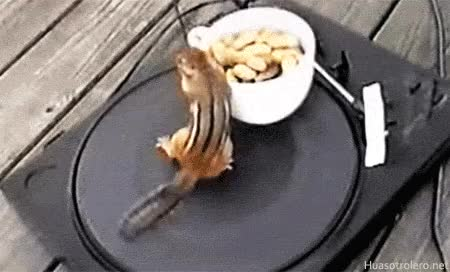 Watch this chipmunk GIF on Gfycat. Discover more chipmunk, nuts, squirrel GIFs on Gfycat