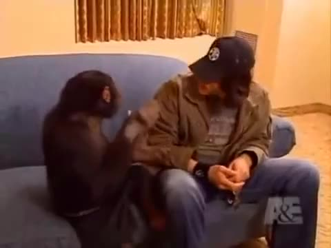 Watch and share Chimp GIFs and Funny GIFs by Jackson3OH3 on Gfycat