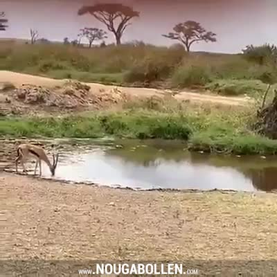 Watch and share Gazelle Dodges Lion GIFs by TMS on Gfycat