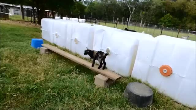 Watch Balance Beam and Go GIF by KNS Farm (@knsfarm) on Gfycat. Discover more aww, cute, eyebleach, goat, goatparkour, kid, knsfarm, parkour GIFs on Gfycat