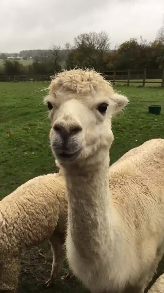 Watch Smooth alpaca. GIF by @likkaon on Gfycat. Discover more related GIFs on Gfycat
