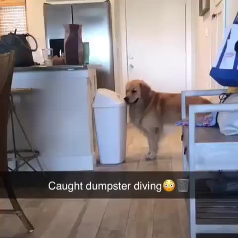 animalsdoingthings, bark, captain the golden 🇺🇸⚓️👨‍✈️, dailyfluff, doggo, doggos, doggosdoingthings, dogs, dogsofinstagram, dogstagram, gloriousgoldens, goldenretriever, goldenretrievers, goldenretrieversofinstagram, goldenretrieversworld, goldensofinstagram, instagolden, pupstagram, retrieverstagram, caught GIFs