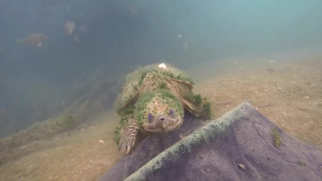 Watch Beautiful elderly Common Snapping Turtle just coming to say HI. Spring Lake, San Marcos, TX GIF on Gfycat. Discover more related GIFs on Gfycat