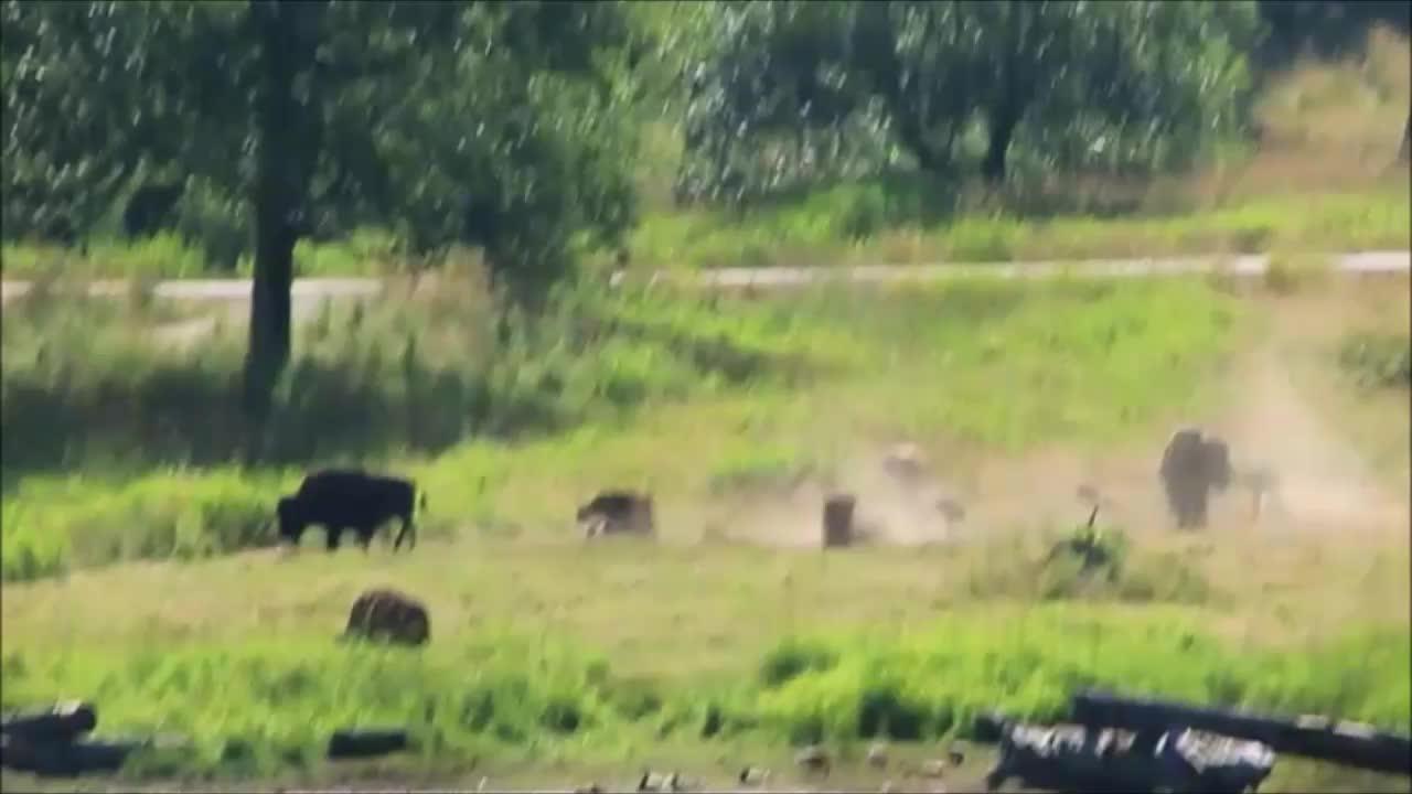 NorthwestTrek, animalsbeingderps, Bison Roll GIFs