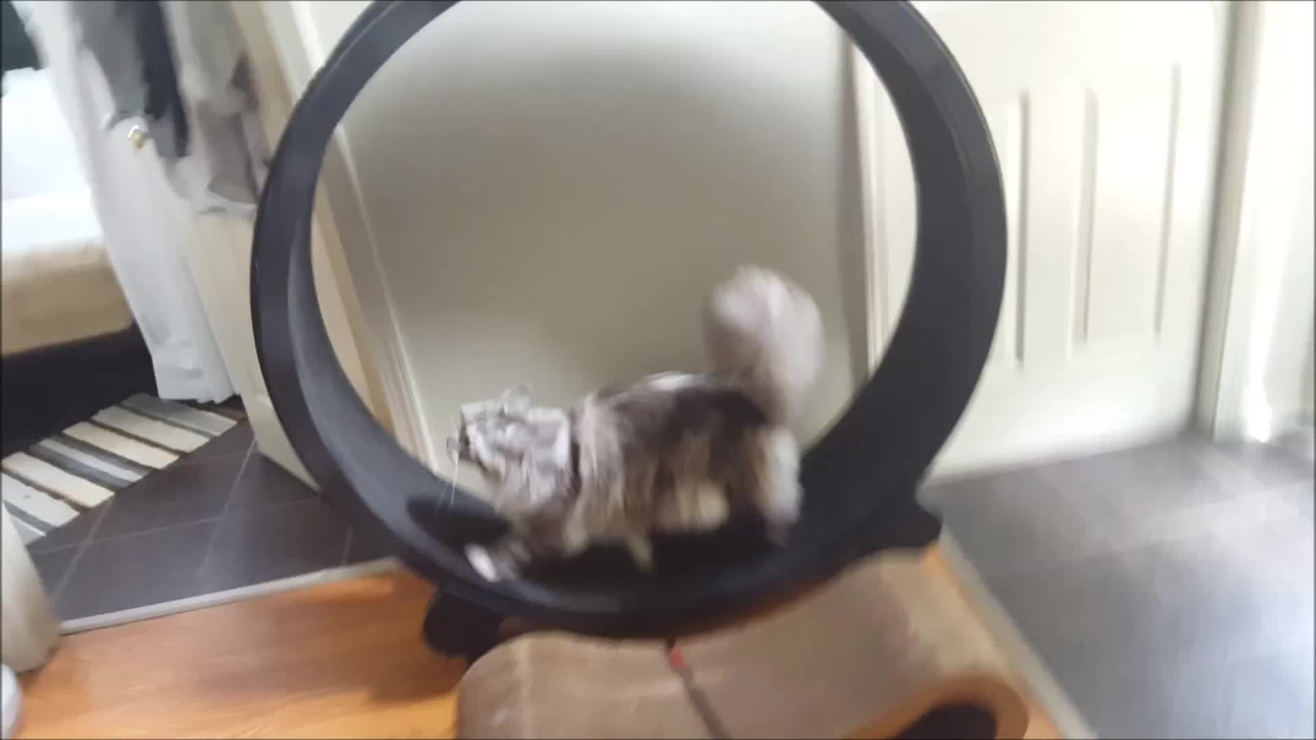 aww, cats, exercise wheel, maine coon, Maine coon on a cat exercise wheel GIFs