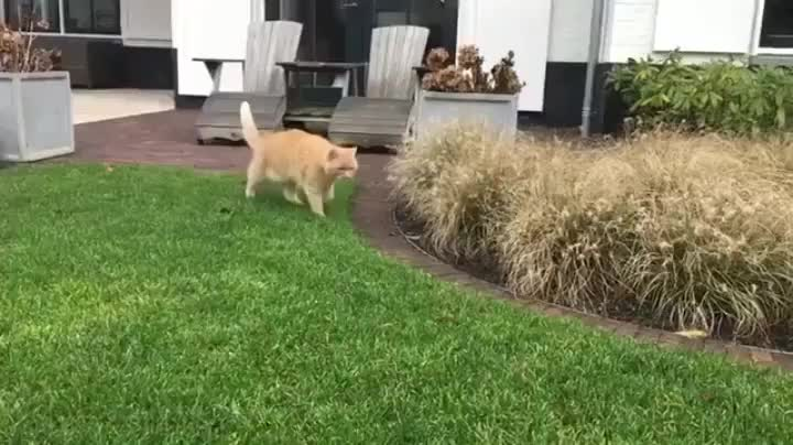 hitmanimals, startledcats, Cat Ambush (normal speed) GIFs
