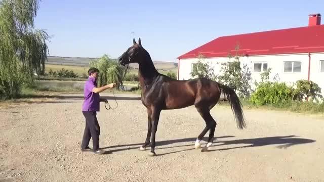 Watch Akhal-teke stallion Gensir - For sale GIF on Gfycat. Discover more Colt, Endurance, Filly, achaltekkiner, eventing, fohlen, hengste, jumping, military, racing, stallion, stuten GIFs on Gfycat