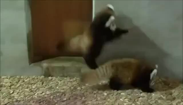 Watch this animal GIF on Gfycat. Discover more animal, animals, panda, red panda GIFs on Gfycat