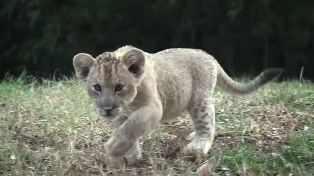 Watch this lion GIF on Gfycat. Discover more african, animal, animals, animalstv, baby, baltimore, birth, cub, cubs, female, lion, lioness, lions, male, maryland zoo, new, newborn, pair, young, zoo GIFs on Gfycat