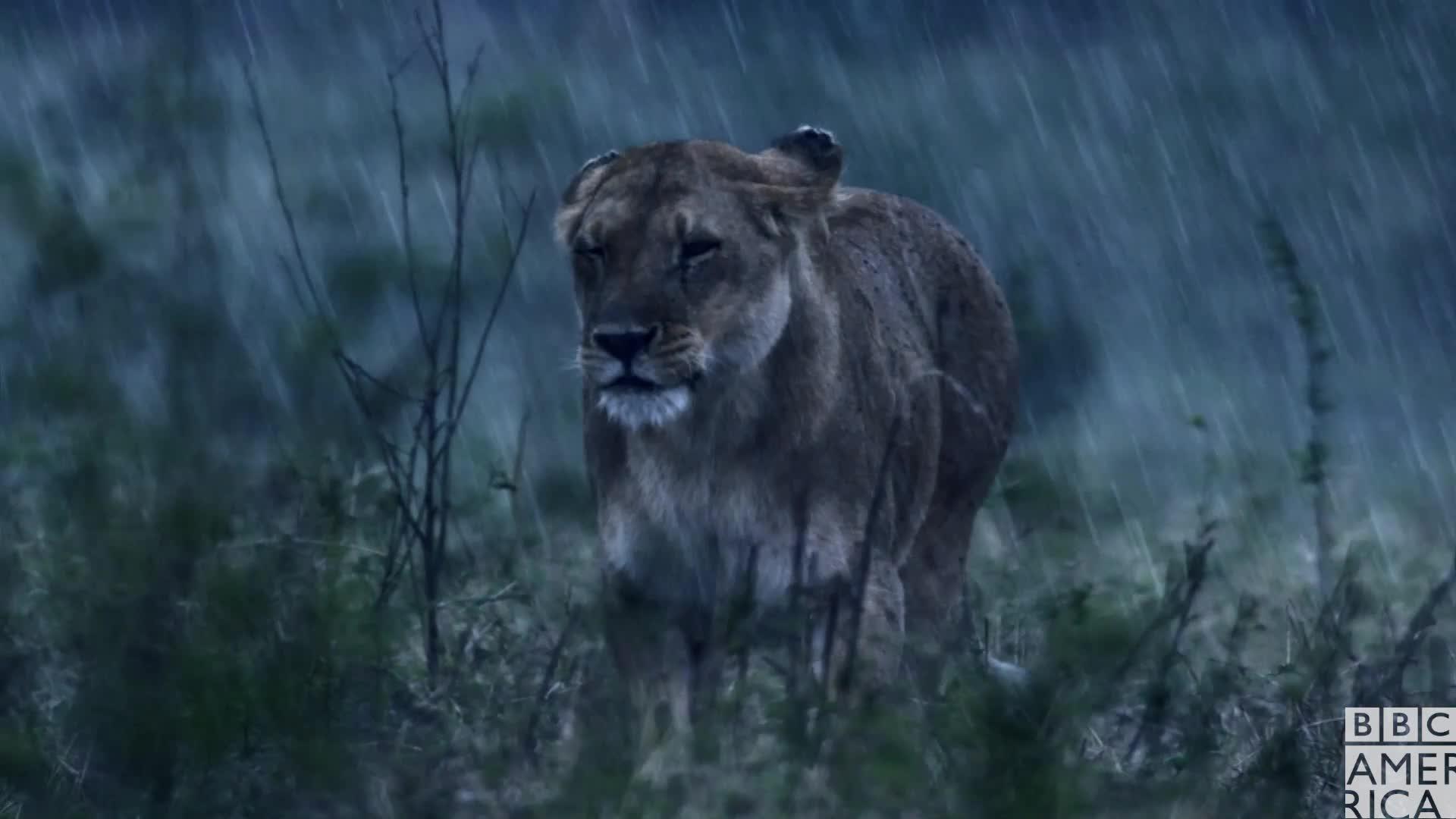 animal, animals, bbc america, bbc america: dynasties, dynasties, lion, lions, rain, raining, success, swag, walk, walking, yolo, Dynasties Lioness Charm Swag GIFs