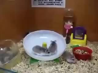 "Watch ""Spinning Around"" GIF on Gfycat. Discover more animals, around, aww, cute, hamsters, lol, spinning GIFs on Gfycat"