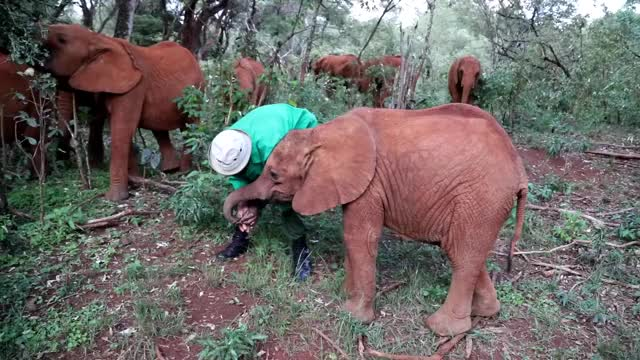 Watch this elephant GIF by PM_ME_STEAM_K3YS (@pmmesteamk3ys) on Gfycat. Discover more Africa, Angela Sheldrick, David Sheldrick, Elephant rescue, Kenya, Kenya Wildlife Service, Nairobi, Nairobi Nursery, Tsavo National Park, africa, angela sheldrick, animal, animals, david sheldrick, elephant, elephant rescue, elephants, kenya, kenya wildlife service, nairobi, nairobi nursery, tsavo national park, zoo, zoo animals GIFs on Gfycat