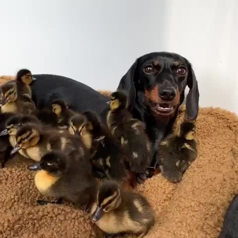 loulou, Pretty tiring all those little ducklings 🤪. GIFs
