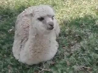 Watch Alpaca Nomming Grass GIF on Gfycat. Discover more alpaca, cute, eating, grass, nom, yum GIFs on Gfycat