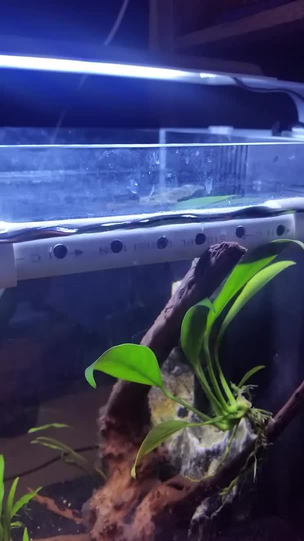 bettafish, Low vs glass GIFs