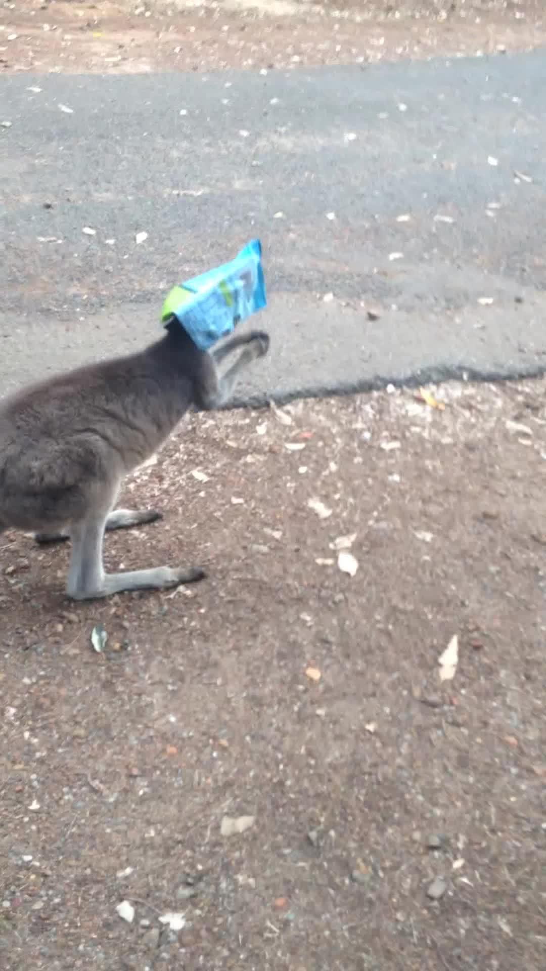 AnimalsBeingConfused, AskReddit, kangaroo head buts car, Kangaroo gets head stuck in chips and head buts car GIFs