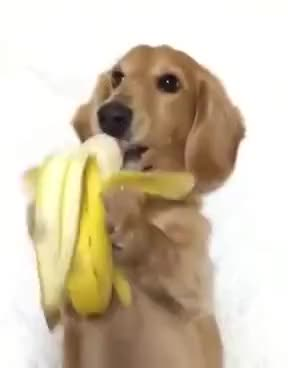 Watch and share Cachorrinho Comendo Banana Kkkkkkkkkkkkkkkkkkkk GIFs on Gfycat