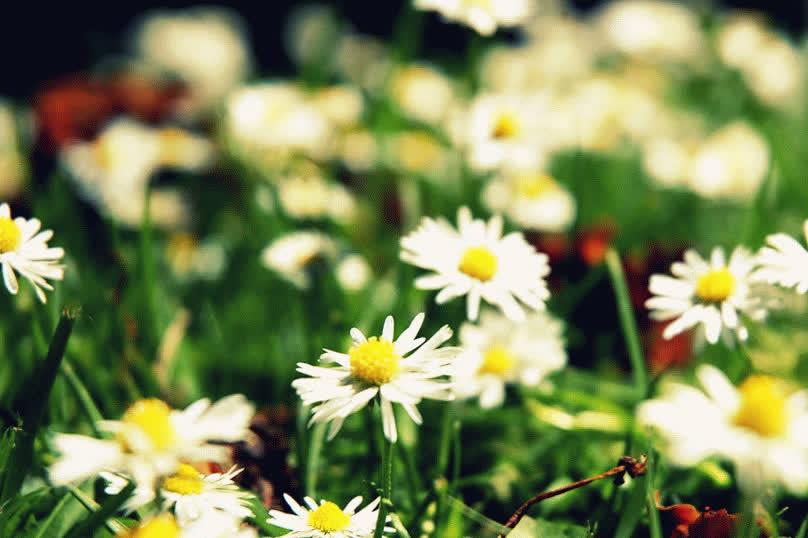 daisy, flower, flowers, Добавлена: Окт. 15, 2014 | GIFs