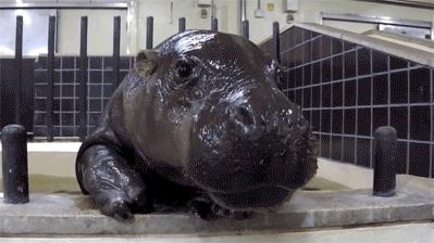 baby, cute, hippo, hippopotamus, I'm Done! GIFs