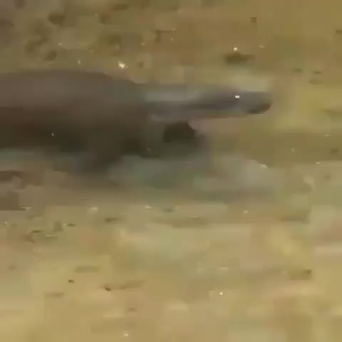 Baby Pygmy hippo chilling out with her mom in a pond in West Africa GIFs