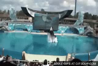 Watch and share Killerwhale GIFs and Black Fish GIFs on Gfycat