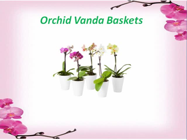 Watch Shop Online Orchid Vanda Baskets in Florida at Reasonable Prices GIF by @greenbarnorchid on Gfycat. Discover more beautiful orchid baskets, beautiful vanda baskets, orchid baskets, orchid baskets in florida, orchids, vanda baskets, vanda baskets in florida GIFs on Gfycat