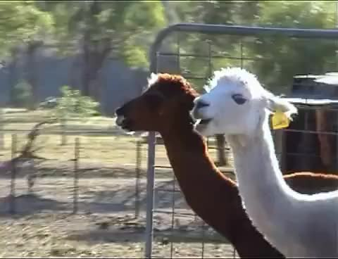 Watch alpaca GIF on Gfycat. Discover more alpaca GIFs on Gfycat