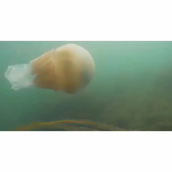 Monitor a man-sized jellyfish off the US coast GIFs