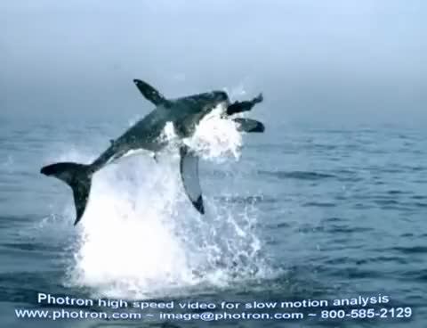 Watch White sharks attacks GIF on Gfycat. Discover more Stress GIFs on Gfycat