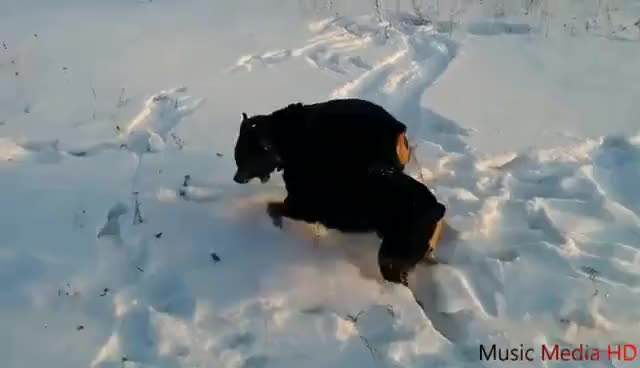 Watch and share Собачий Бой (Ротвейлер VS Ротвейлер) GIFs on Gfycat
