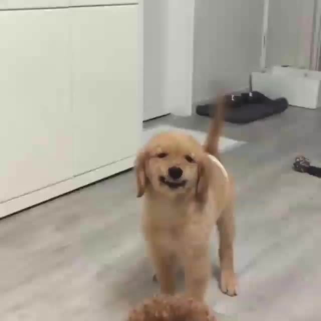 Watch and share Retriever GIFs and Golden GIFs by Master1718 on Gfycat