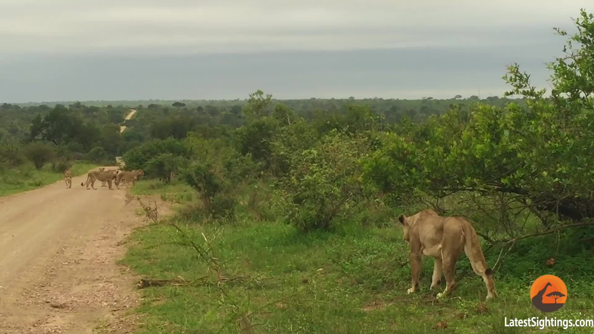 family reunion, lion, lioness, reunited, Family reunion GIFs
