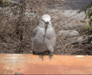 Watch this bird GIF on Gfycat. Discover more animals, bird, birds, cute GIFs on Gfycat