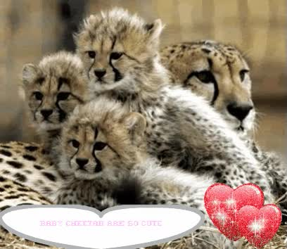 Watch and share Cheetah GIFs on Gfycat