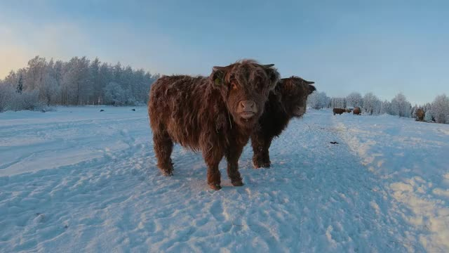 Watch and share Highland Cattle GIFs and Calves GIFs by Highland Cattle of Saarela on Gfycat