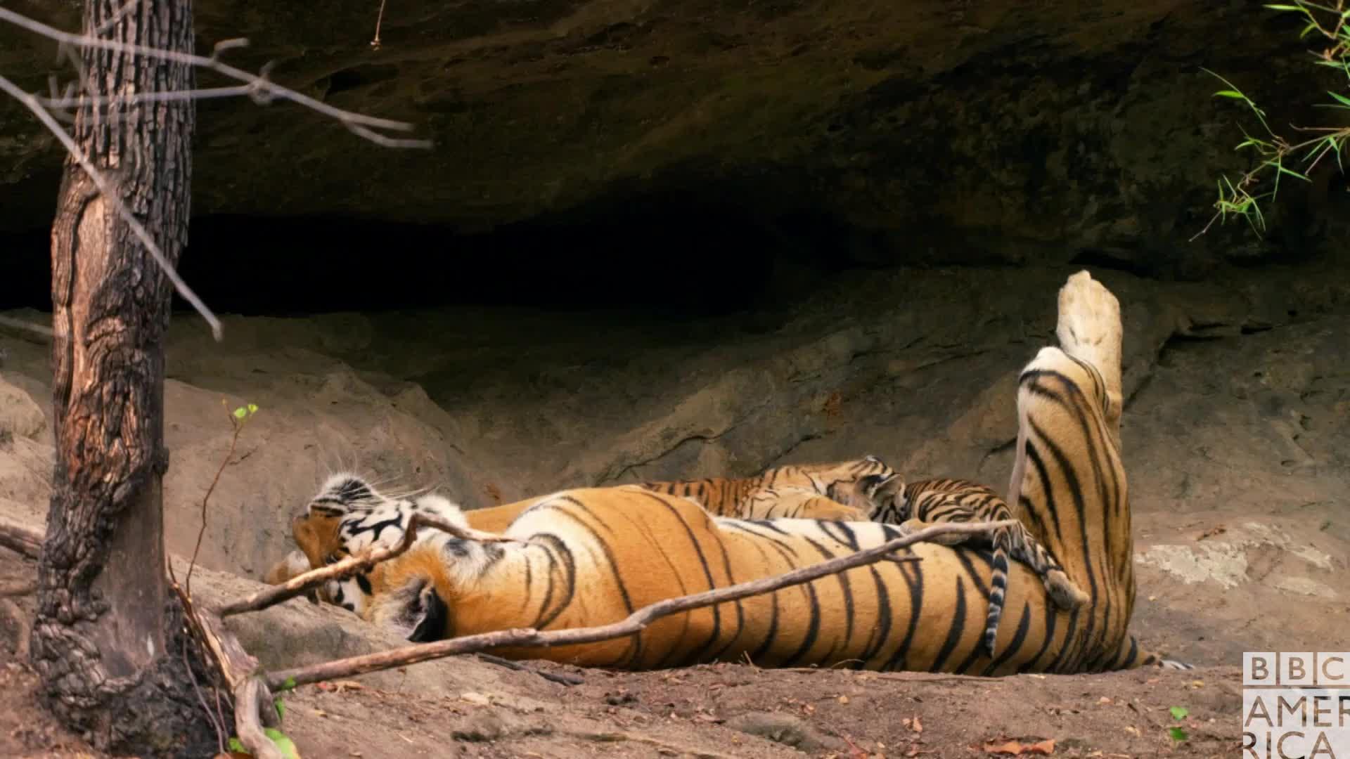 animal, animals, bbc america, bbc america dynasties, bbc america: dynasties, dynasties, thirsty, tiger, tigers, tired, Dynasties Thirsty Tiger Cubs GIFs