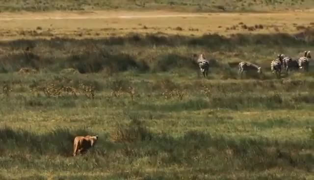 Watch and share Epic Lion Hunting Attack, Lion Vs Buffalo And Zebra In HD GIFs on Gfycat