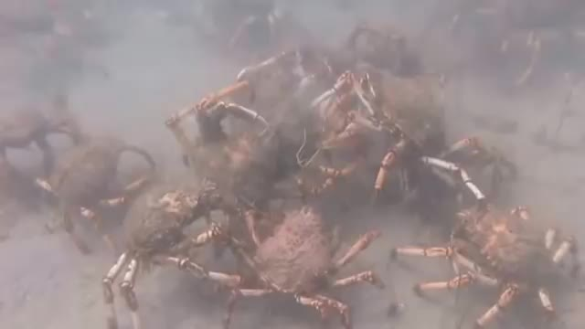 Migrating Spider Crabs ripping apart an Octopus GIFs